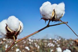 Crop Year & Cotton Market  Podcast Series Part 2